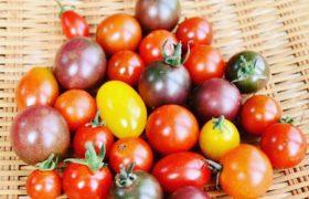 カラフルミニトマト(たてやまかおり菜園)