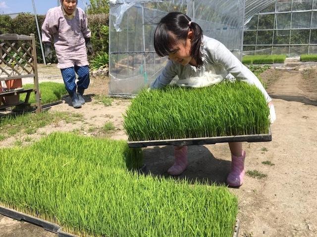 コシヒカリ(リエビン・田植え仕事のお手伝い2)